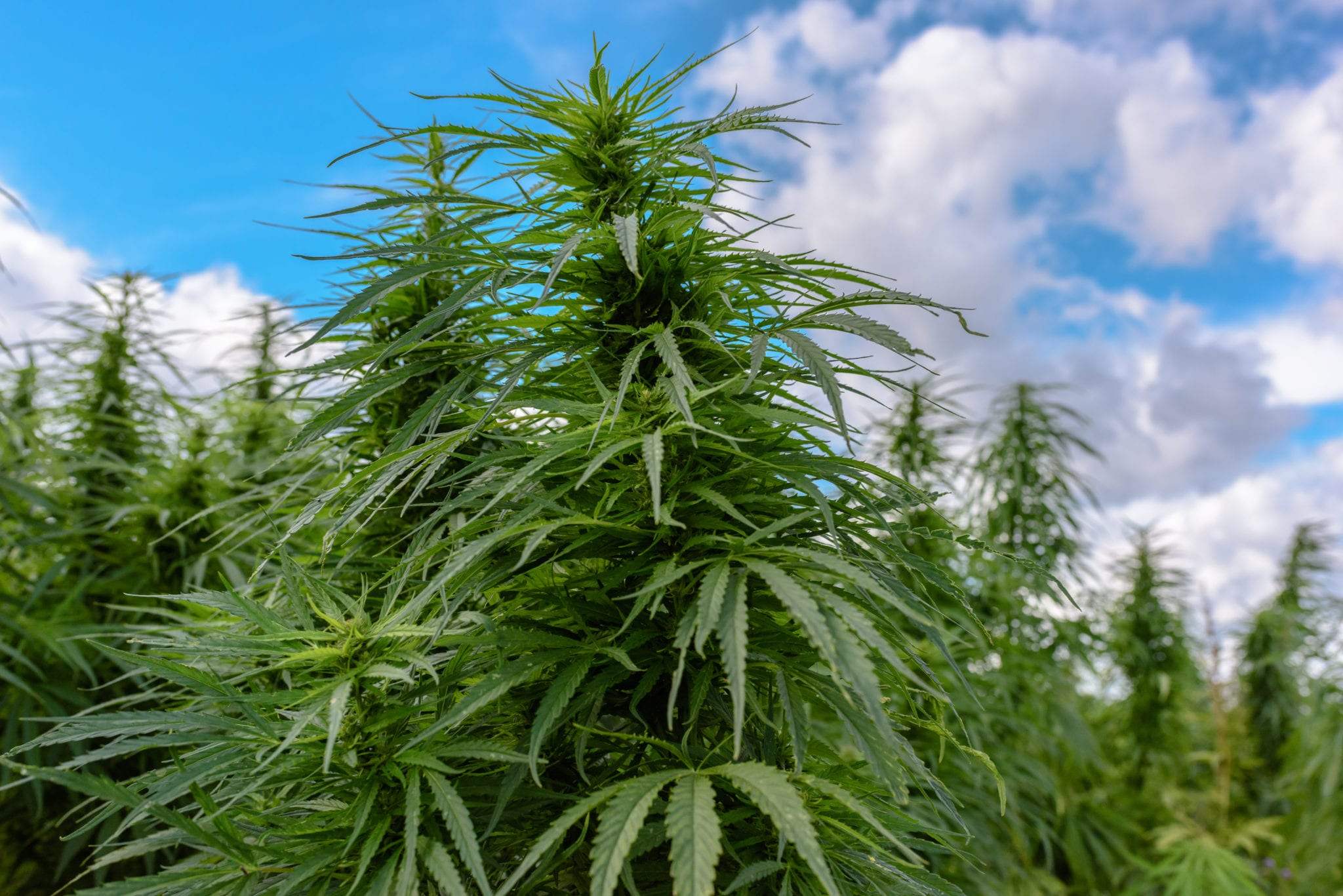48North produced some very cheap outdoor weed this quarter, but not enough