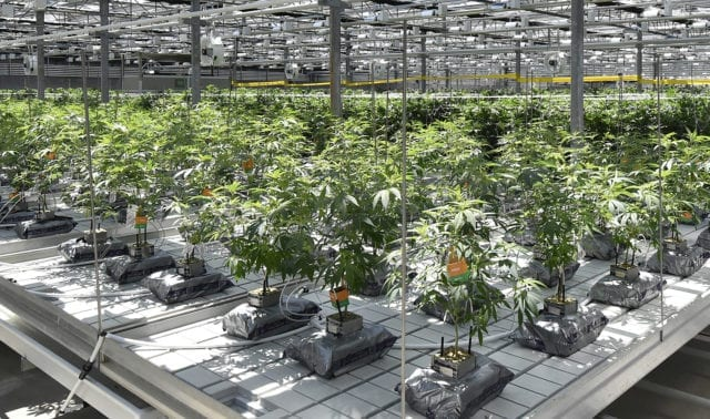 CannTrust Plunges Further On Bombshell Reports Alleging CEO Was Aware Of Illegal Cannabis Growing