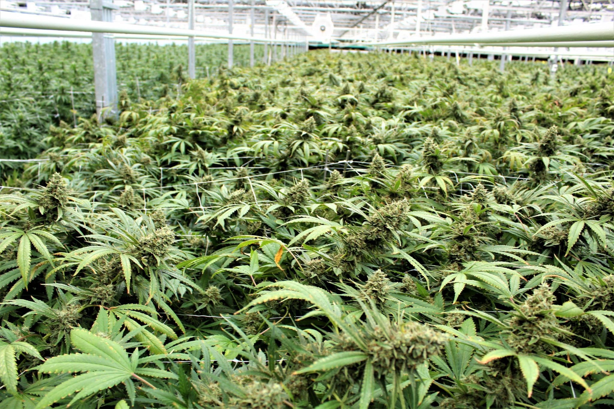 CannTrust fails to file financial statements, risks losing TSX listing