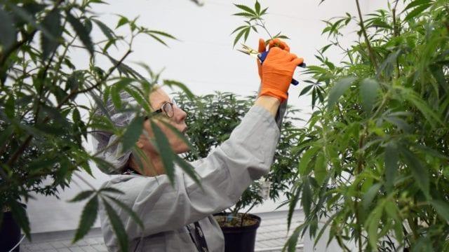 https://mugglehead.com/wp-content/uploads/2019/08/canopy.worker.grow_-640x360.jpg