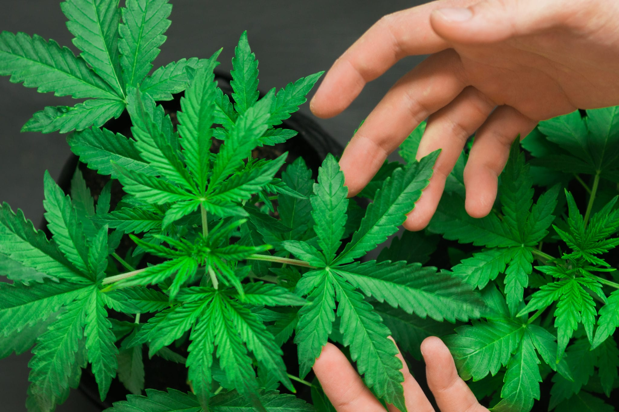 Canberra Becomes First City in Australia to Legalize Recreational Cannabis