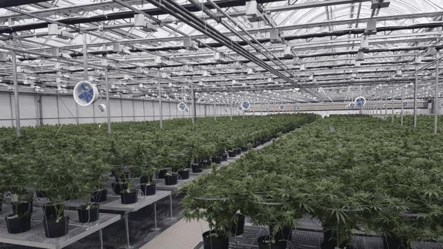 https://mk0muggleheadfl9s2sr.kinstacdn.com/wp-content/uploads/2019/09/cannabis-medical-grow-640x360.png