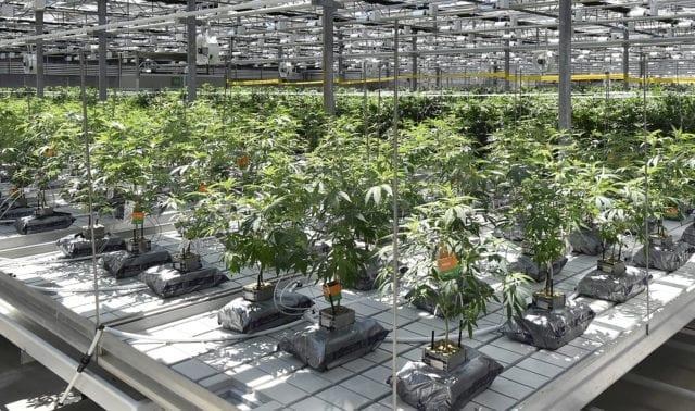 CannTrust to Destroy $77 Million Worth of Cannabis to Regain Compliance