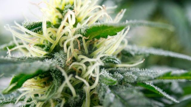 https://mk0muggleheadfl9s2sr.kinstacdn.com/wp-content/uploads/2019/11/Pasha-Brands-craft-cannabis-first-harvest-640x360.jpg