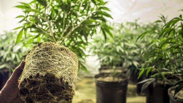https://mk0muggleheadfl9s2sr.kinstacdn.com/wp-content/uploads/2019/11/Transplant-cannabis-plant-640x360.jpg