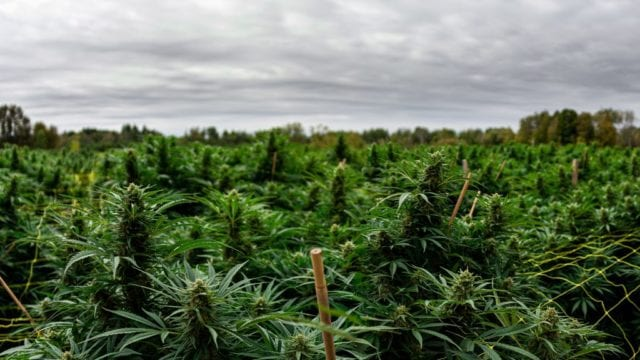 https://mk0muggleheadfl9s2sr.kinstacdn.com/wp-content/uploads/2019/12/Aleafia-outdoor-cannabis-crops-640x360.jpg