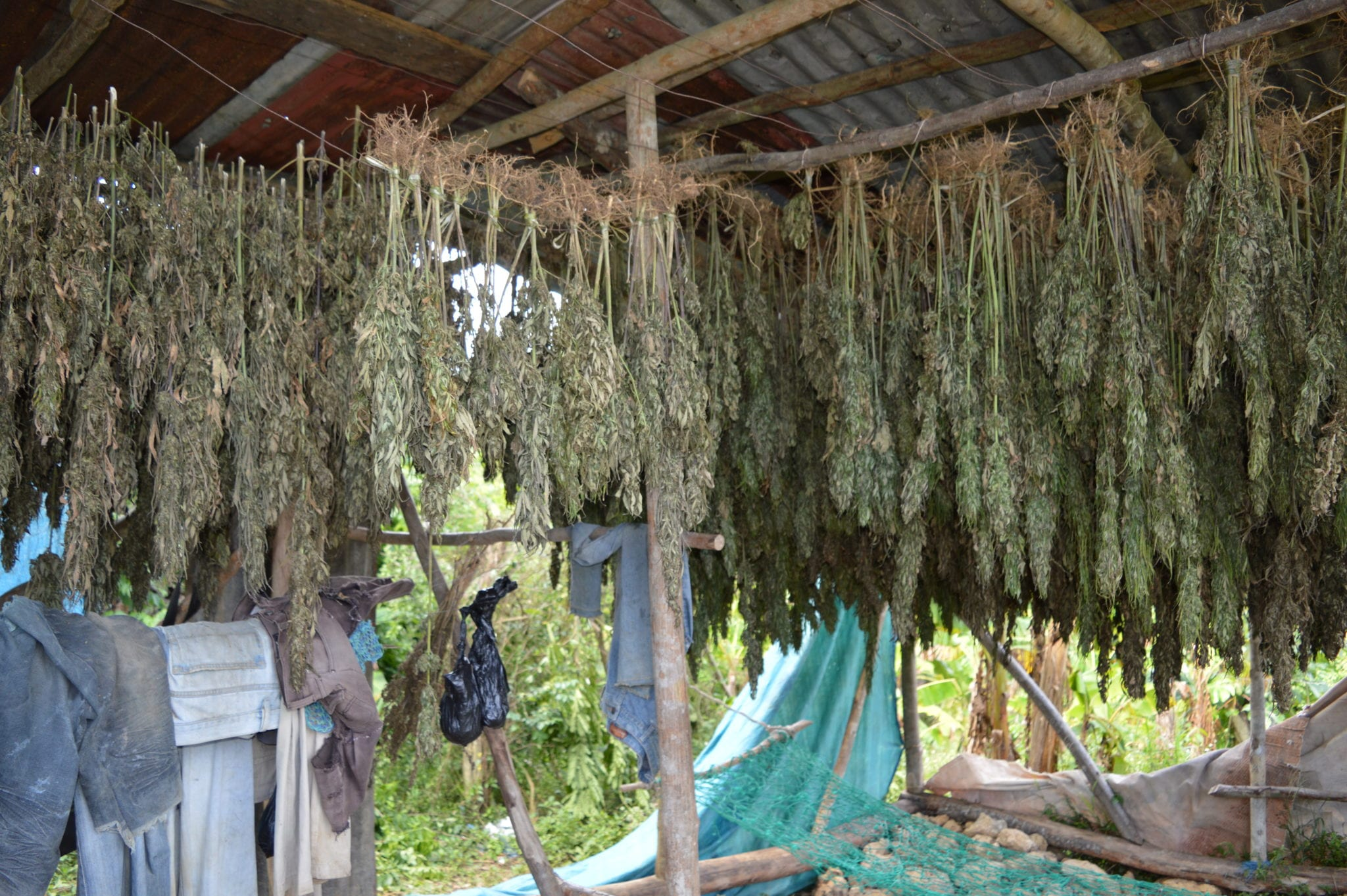 Jamaica helps illicit small-time cannabis farmers transition to legal market