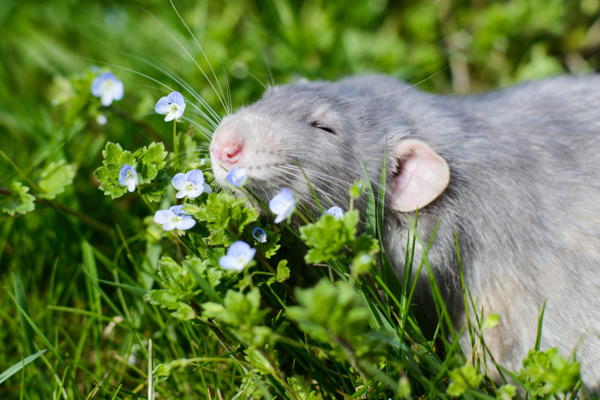 grey rat high off life in a field