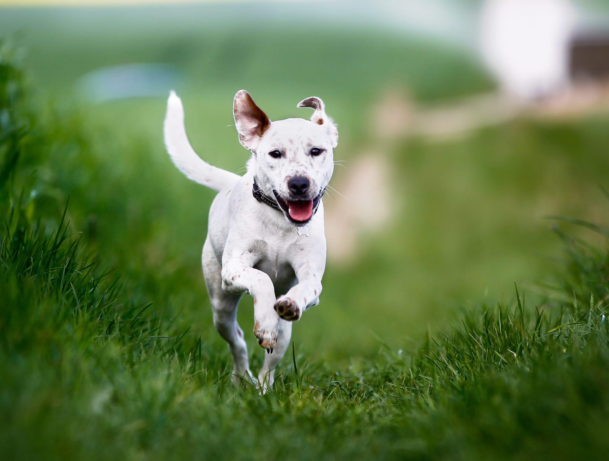 Giving dogs daily CBD improves their arthritis: study