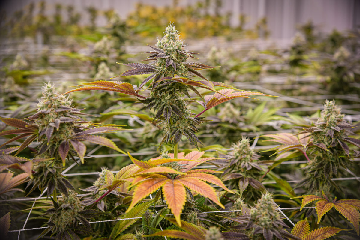 'Huge chunk' of Canada's 383 weed companies won't survive this year: investment banker