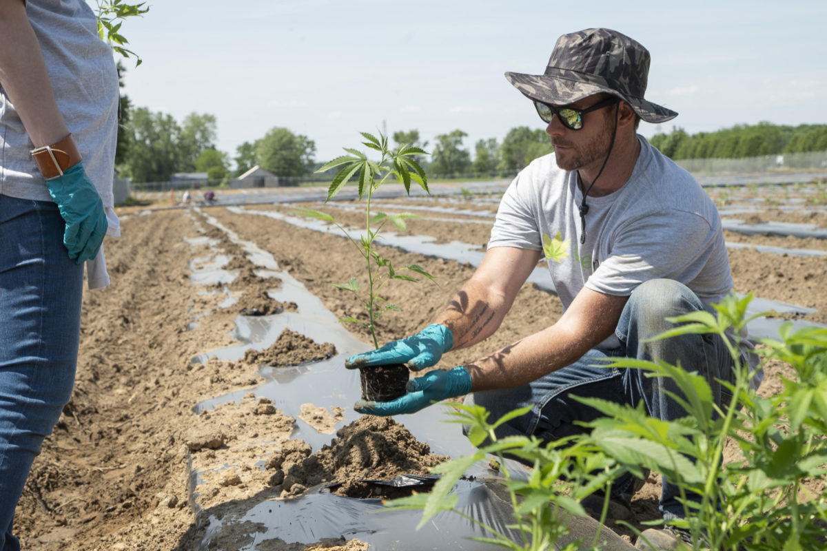 Outdoor cannabis licences almost double