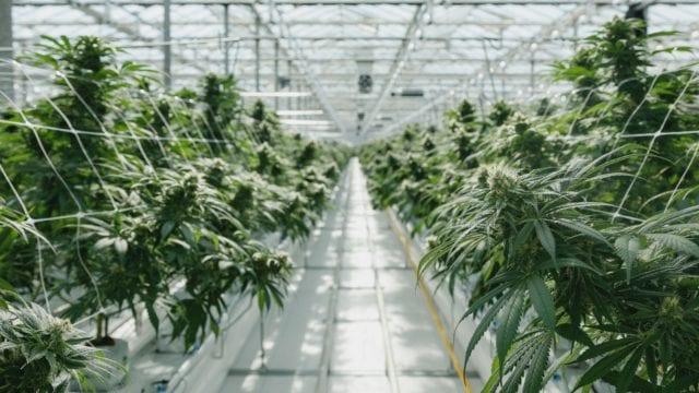 https://mugglehead.com/wp-content/uploads/2020/06/pure-sunfarms-greenhouse-interior-640x360.jpg
