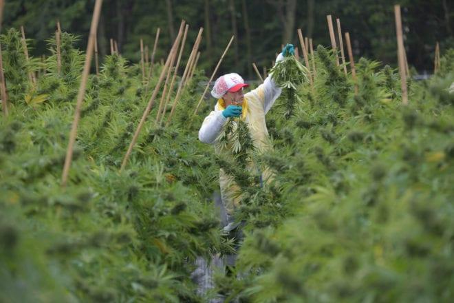 WeedMD's cash pile shrinks despite record revenues