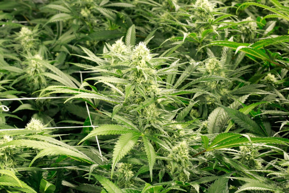 Cronos stock craters on weak Canadian weed sales and US$107M loss