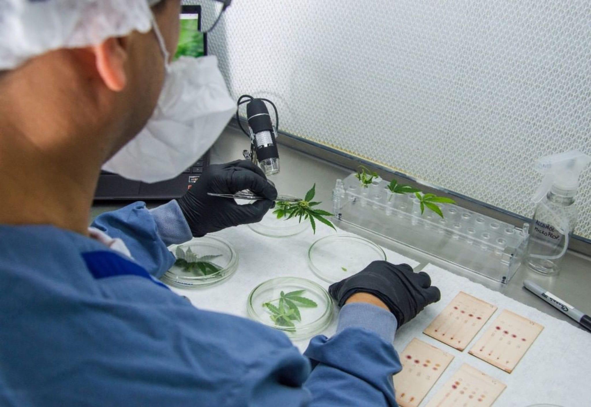New study shows cannabis oil slows coronavirus replication, Ikänik Farms says