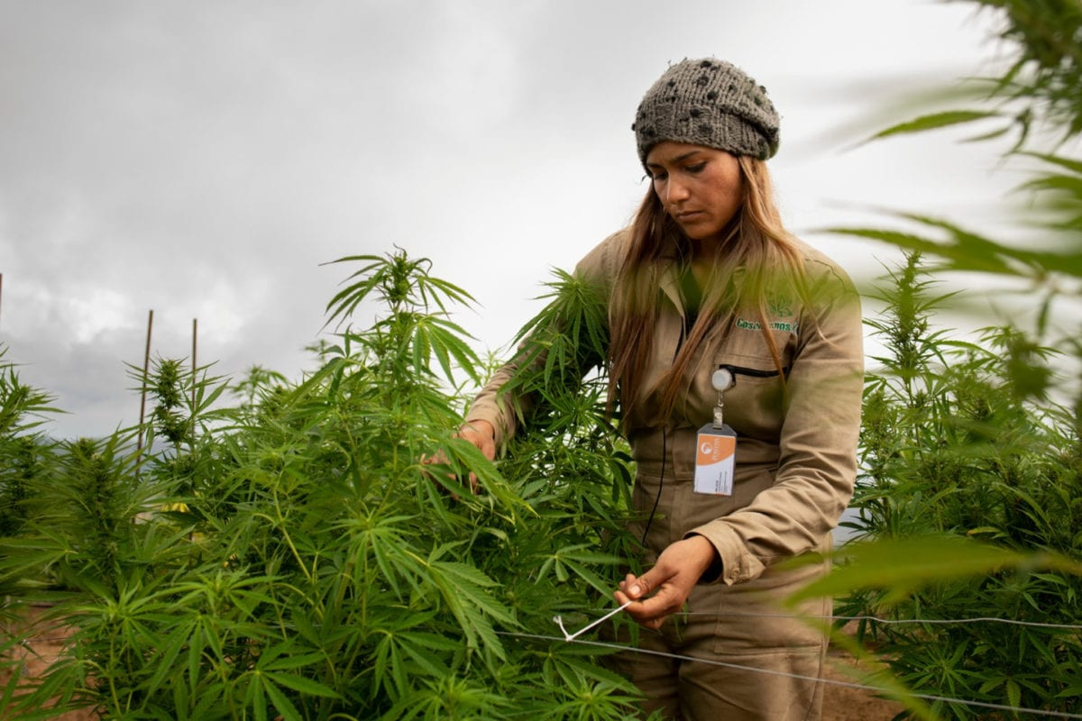 Global NGO network outlines 20 ways to make cannabis industries equitable