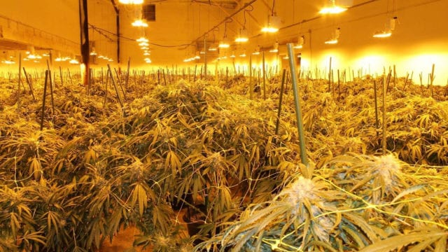 https://mk0muggleheadfl9s2sr.kinstacdn.com/wp-content/uploads/2020/10/opp-cannabis-5f8f2e103ab53712d332229f1-640x360.jpg