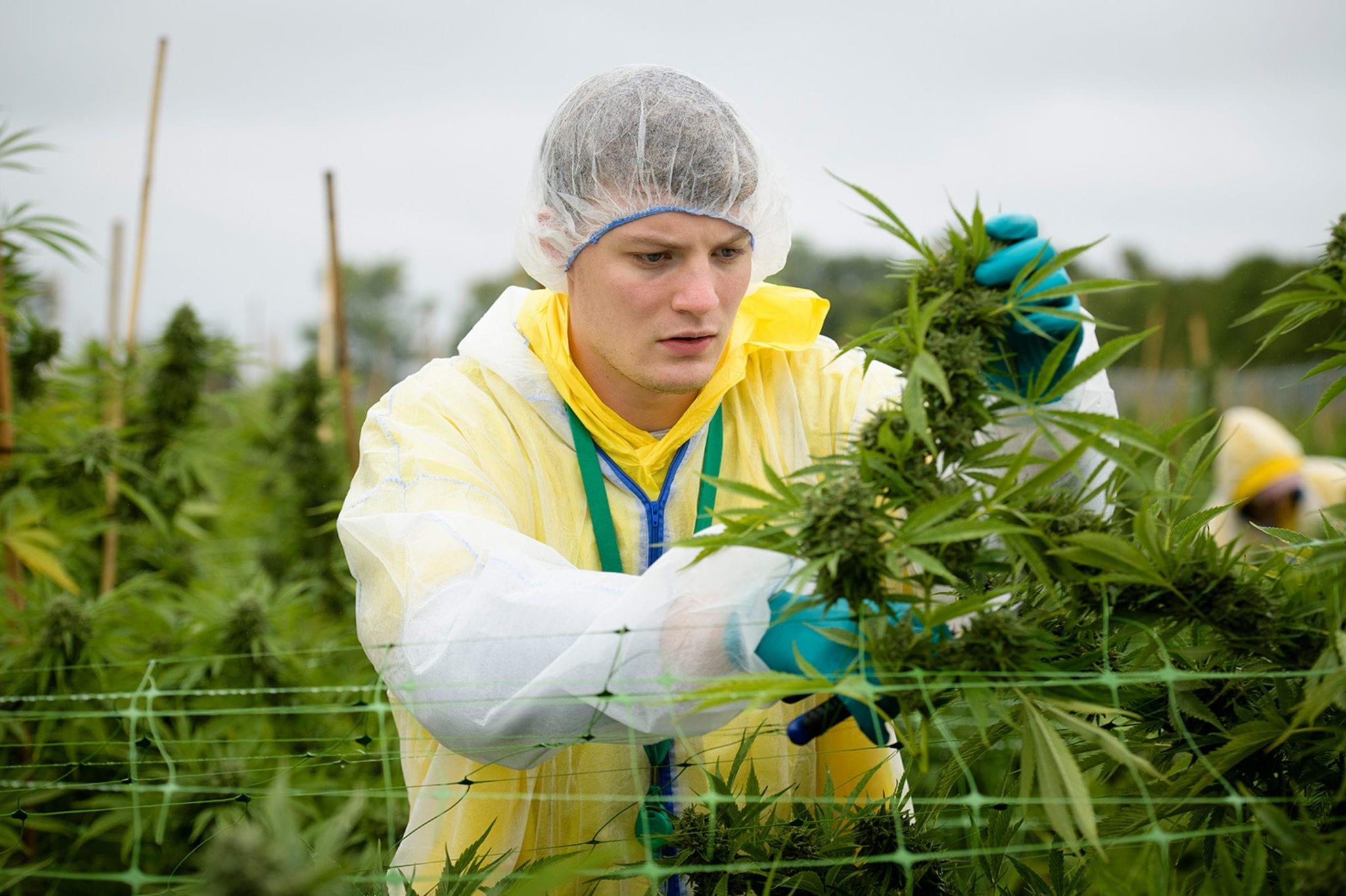 outdoor cannabis canada croptober 2020