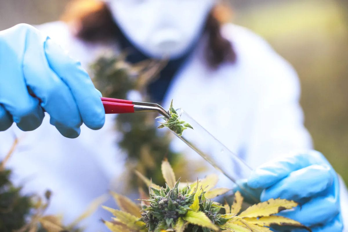 A record 3,627 cannabis studies conducted in 2020