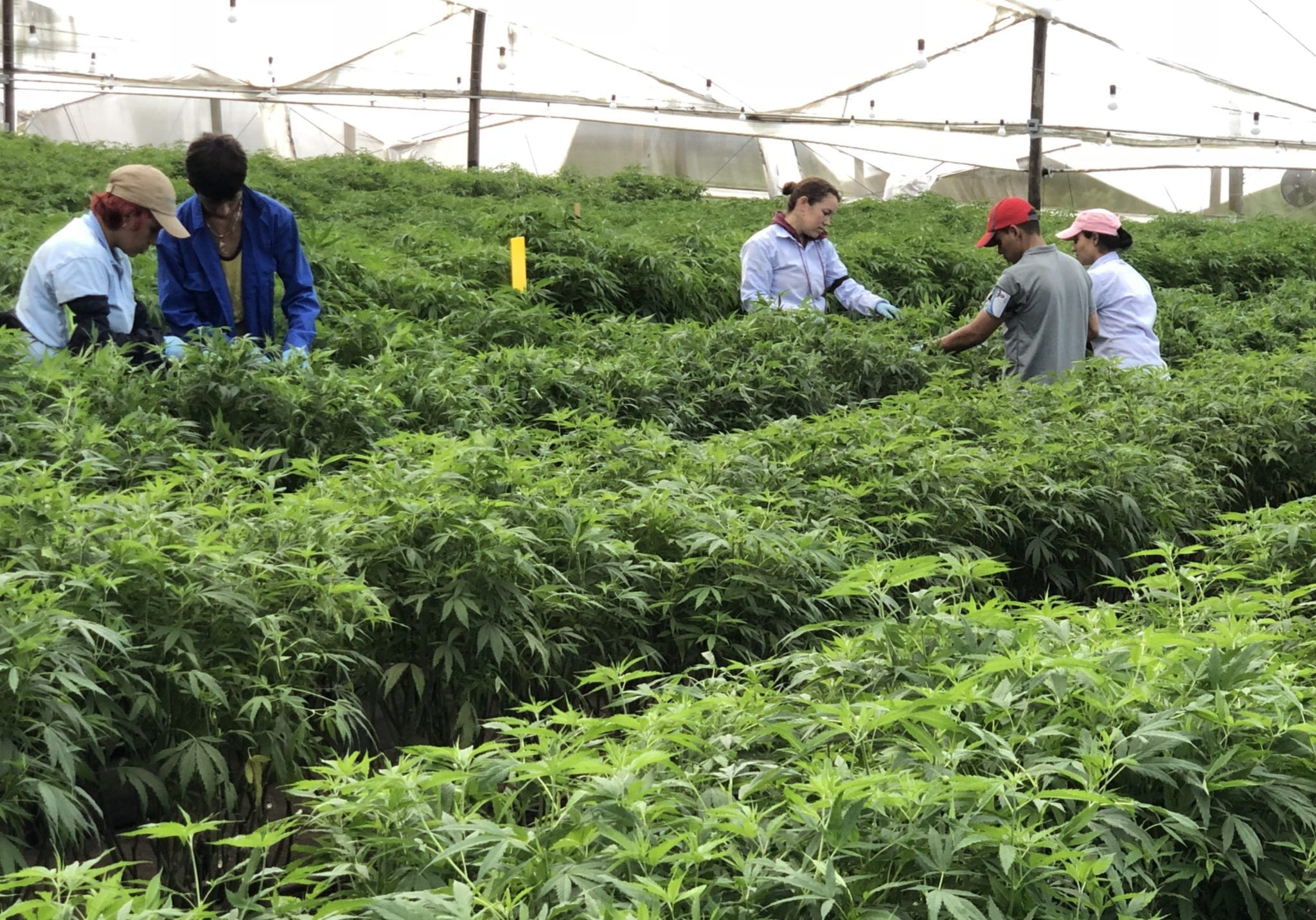 Will Mexico's medical cannabis laws help or hurt public safety - PharmaCielo