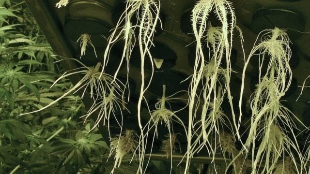 https://mk0muggleheadfl9s2sr.kinstacdn.com/wp-content/uploads/2021/02/Compound-found-in-cannabis-roots-has-anti-inflammatory-effects-study-weedroots-640x360.jpg