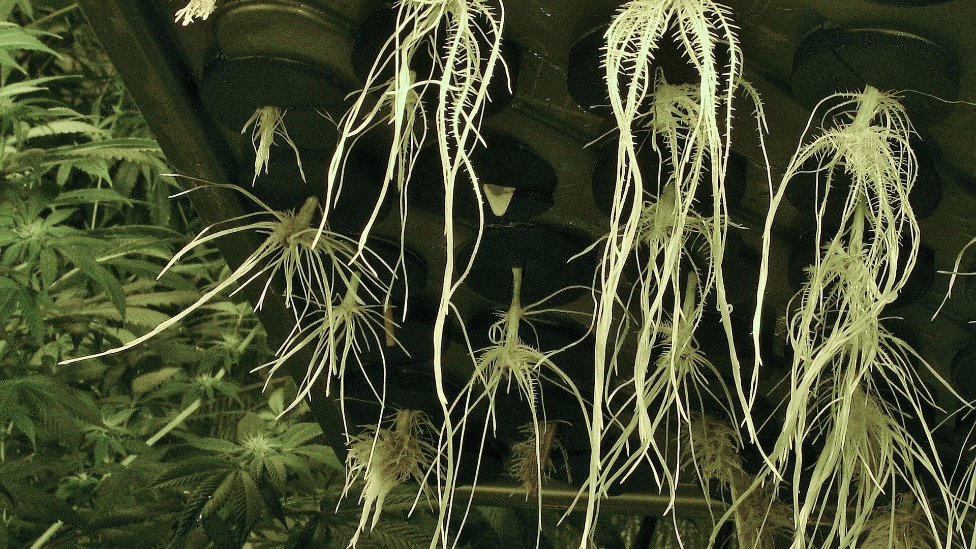 Compound found in cannabis roots has anti-inflammatory effects - study - weedroots