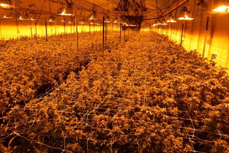 During Covid, California's toxic trespass grows have returned to pre-legalization levels - Humboldt indoor