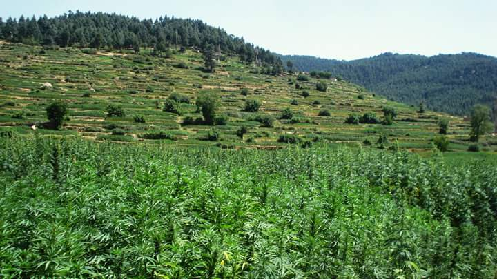 Morocco moves to legalize cannabis for medical and industrial use - cannabis fields ketama morocco