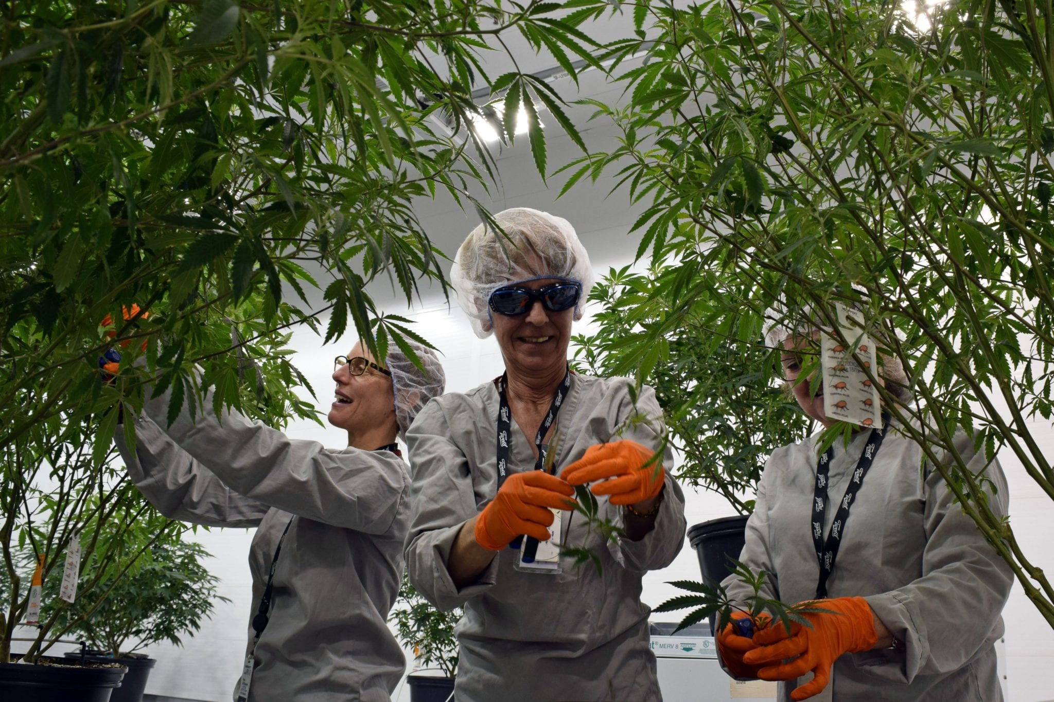 Canopy shares surge on 2022 profit prediction