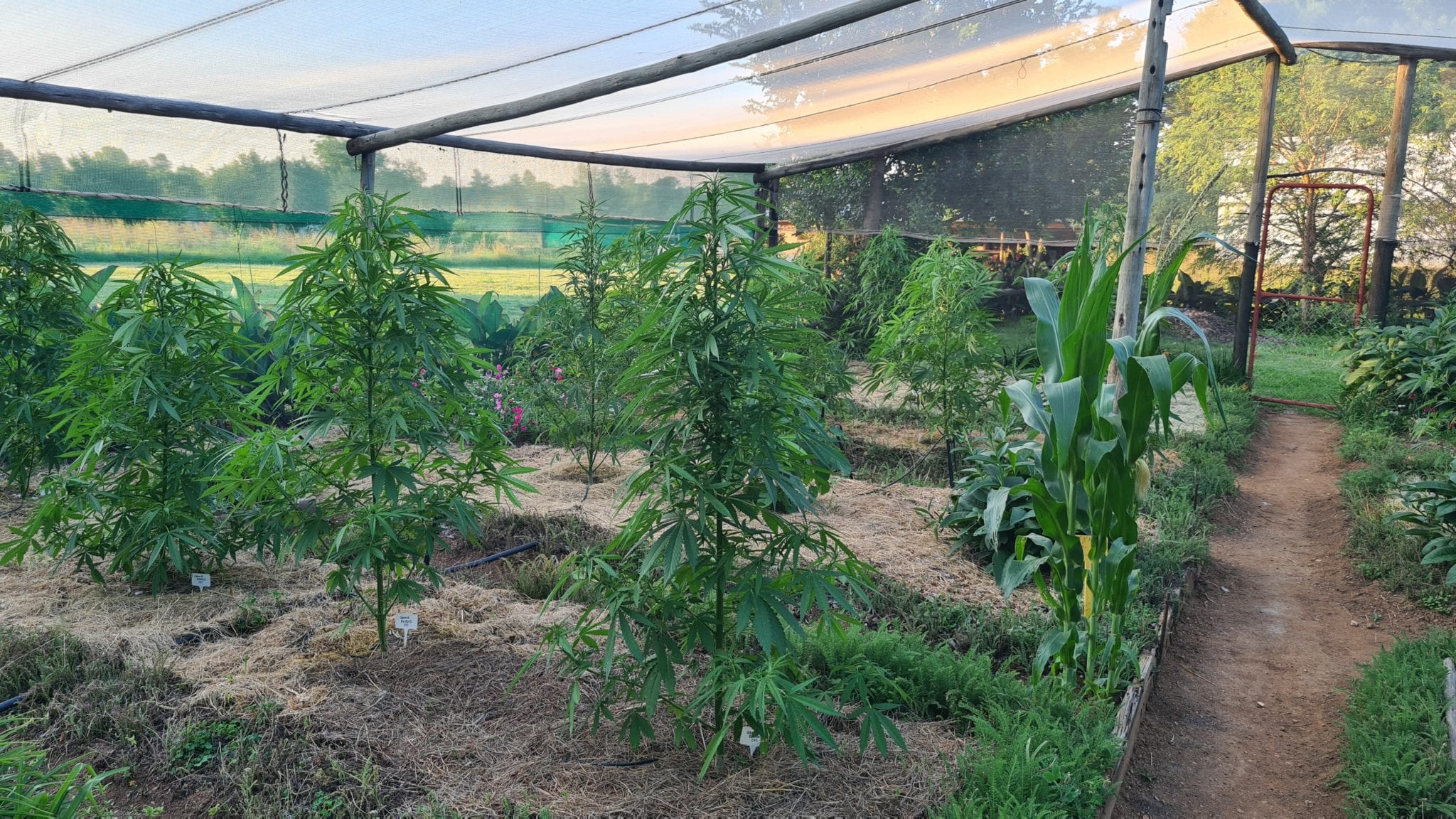 Lawmakers are keeping South Africa's kasinomic cannabis economy in the shadows - private garden