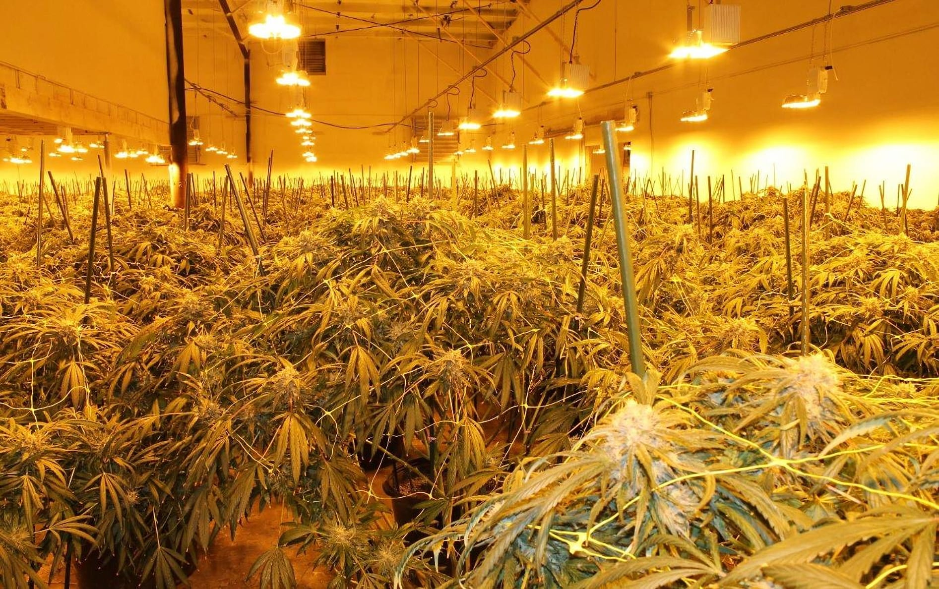 Salmon Arm RCMP seize 1,600 cannabis plants from unlicensed grow