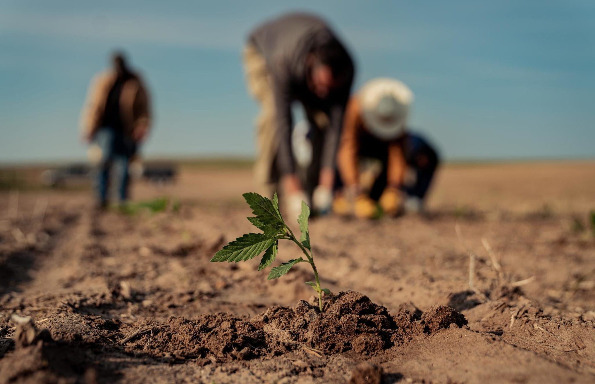 Health Canada opens up CBD market with new hemp cultivar approvals