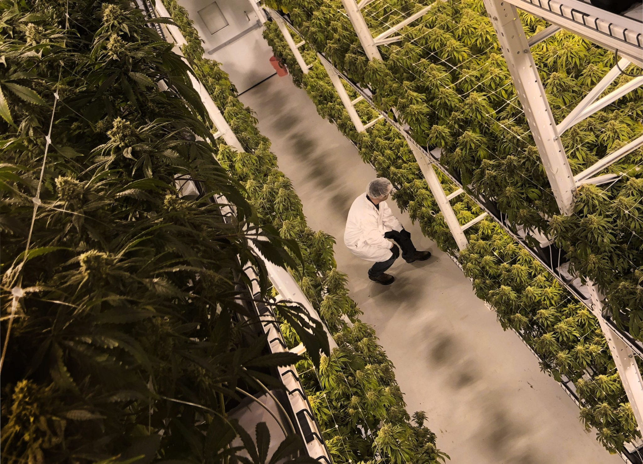 cannabis A new Colorado State University study brings to light the US cannabis industry's major carbon footprint