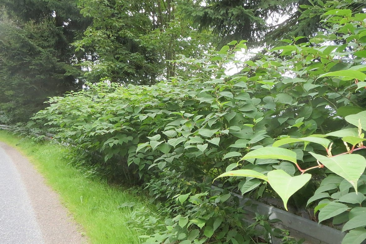 Why clinical cannabis research is so complex - Canada Research Chair Q&A - Japanese knotweed