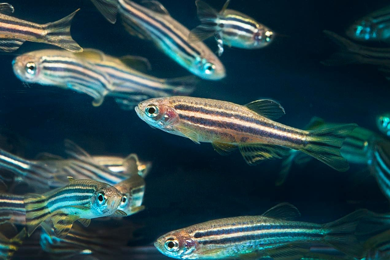 Why clinical cannabis research is so complex - Canada Research Chair Q&A - zebrafish
