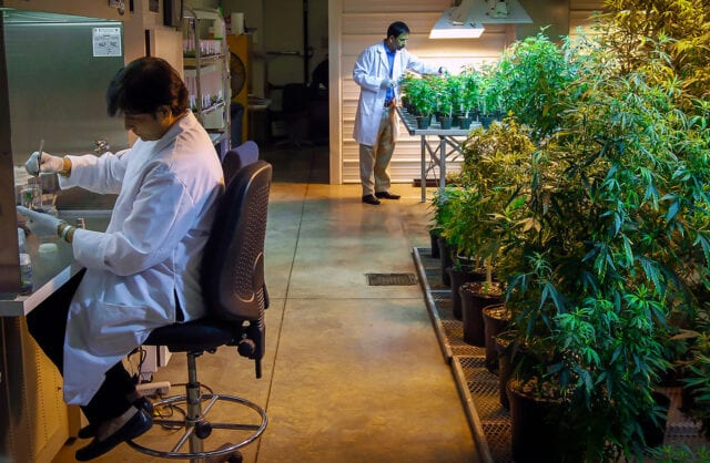 US DEA set to open potent pot production for research