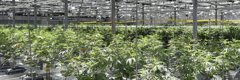 Why aren't the (alleged) CannTrust crooks being charged under the Cannabis Act - pelham