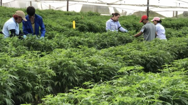 Colombia to allow the export of dry cannabis flower
