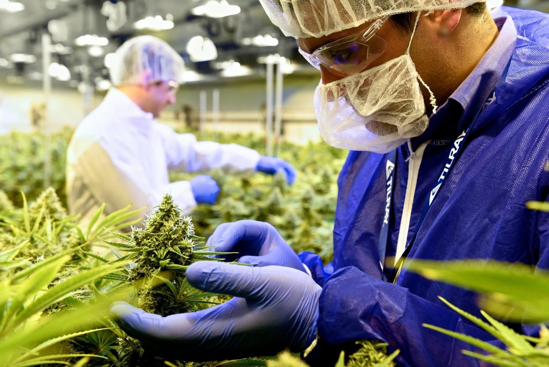 Employees examining cannabis plant at Tilray facility