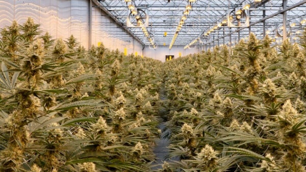 Greenway Greenhouse Cannabis to list publicly on CSE