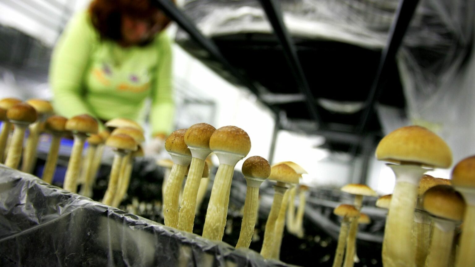 US DEA suggests huge increases to cannabis and psilocybin production for research