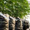 Uruguay ups cannabis THC percentage and mulls tourist use