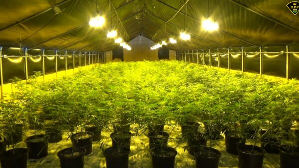 Greenhouse with rows of illicit cannabis plants in Ontario